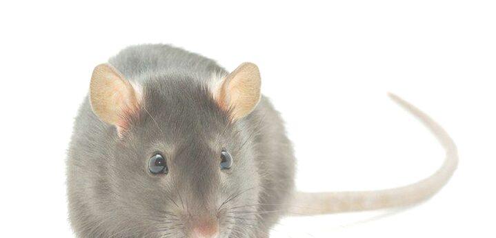 Arti Mimpi Dikejar Tikus 15 Tafsir Menurut Psikolog, Ahli dan Primbon