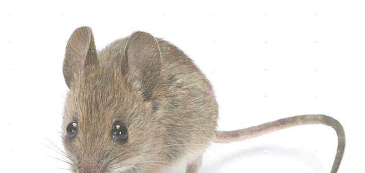 Makna Mimpi Dikejar oleh Tikus Menurut Primbon