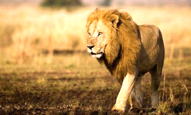 Arti Mimpi Bertemu Singa