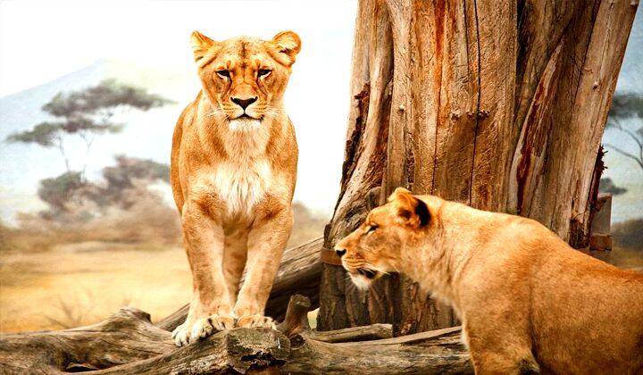 Arti Mimpi Bertemu Singa Dalam Primbon