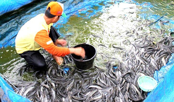 Arti Mimpi Melihat Ikan Lele di Kolam