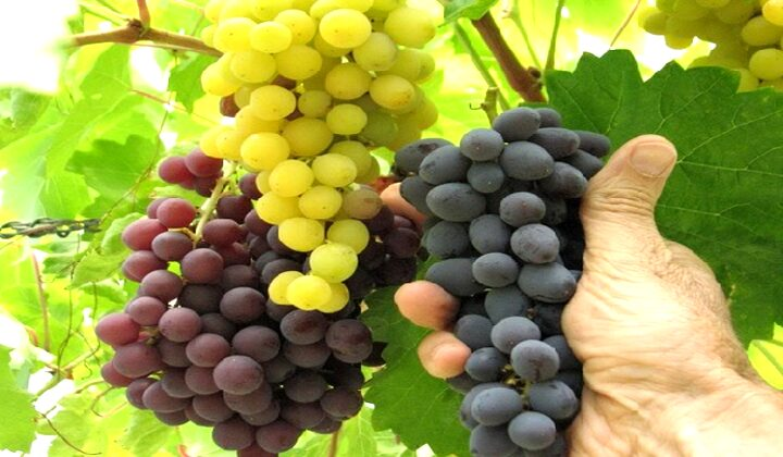 menanam pohon anggur