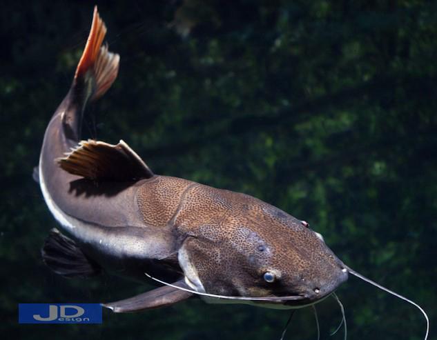 Arti-Mimpi-Ikan-Lele-1